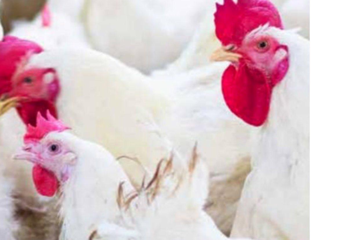 Impact of dietary sodium diformate on performance and litter quality in broilers